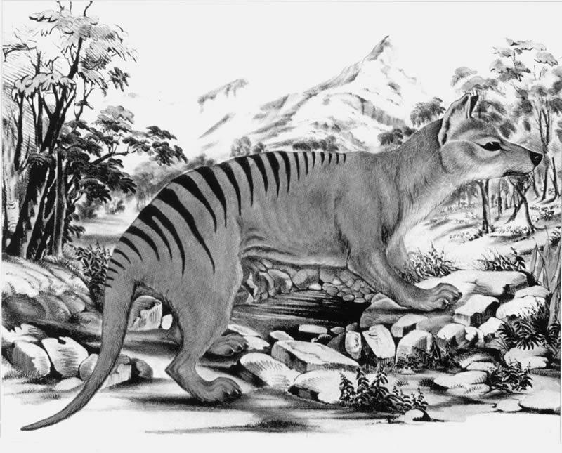 Thylacine By Gerard Krefft [Public domain], via Wikimedia Commons